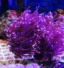 Jersey coral frogspawn coral euphyllia isa